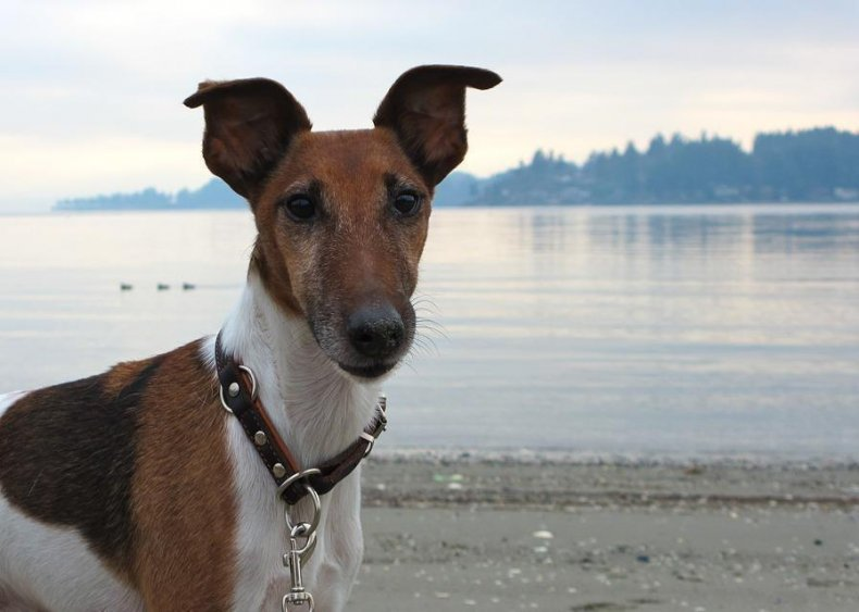 #72. Smooth fox terrier