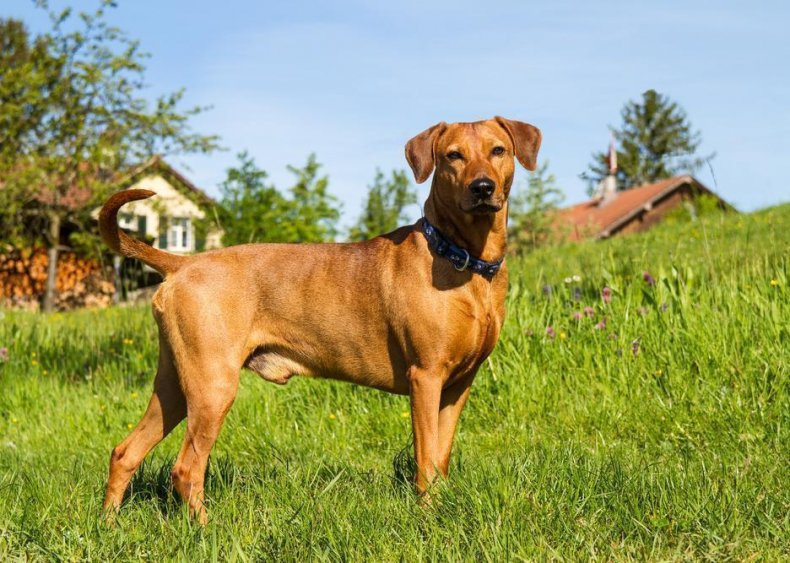 #71. German pinscher