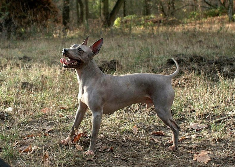#70. American hairless terrier