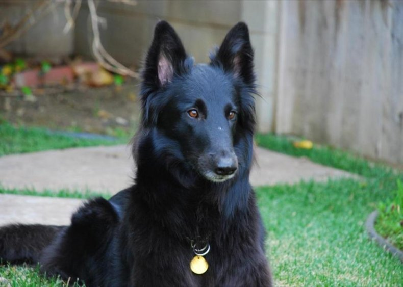 #68. Belgiansheepdog