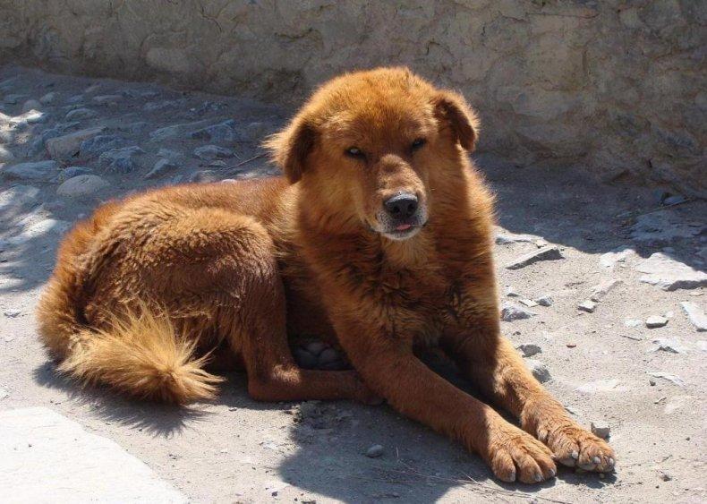 #66. Tibetanmastiff