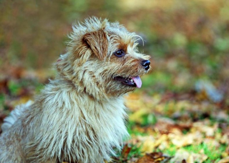 #63. Norfolk terrier