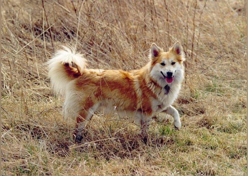#62. Icelandicsheepdog