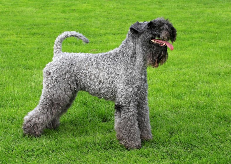 #61. Kerry blue terrier