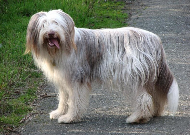#58. Bearded collie