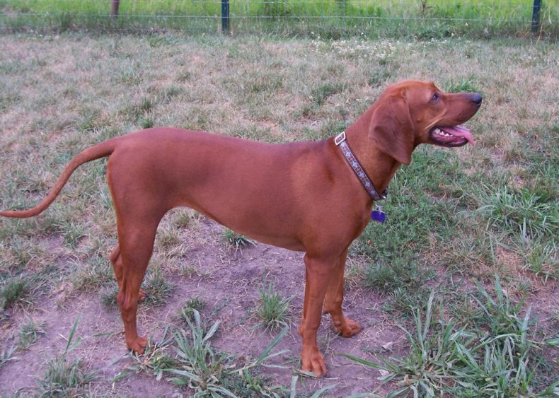 #51. Redbone coonhound