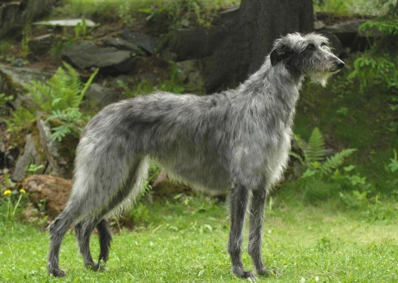 #45. Scottish deerhound