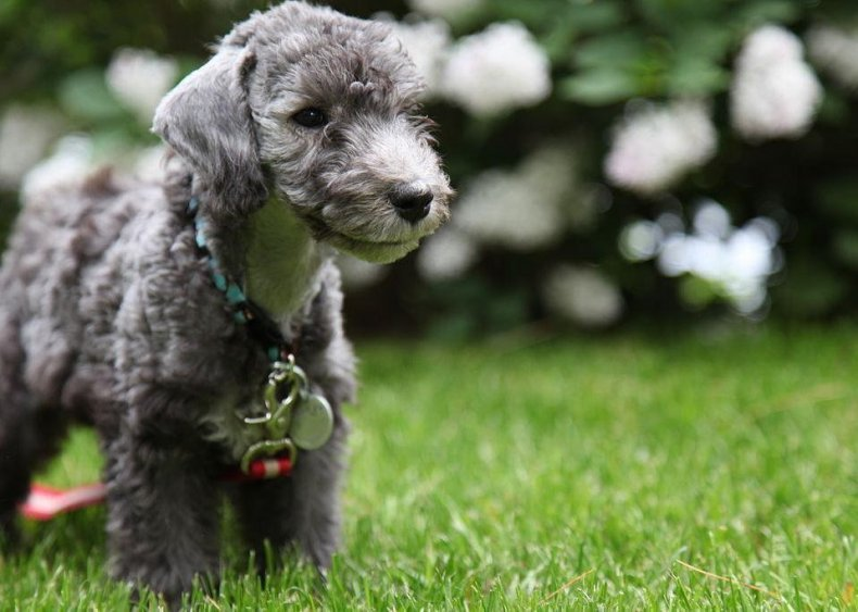#43. Bedlington terrier