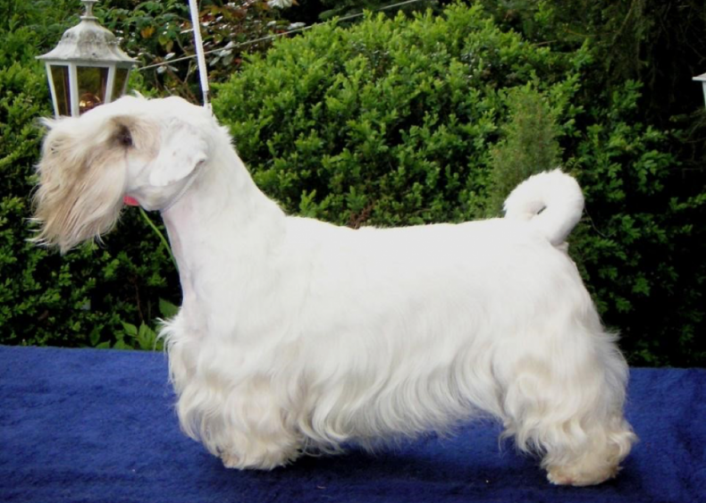 #40. Sealyham terrier