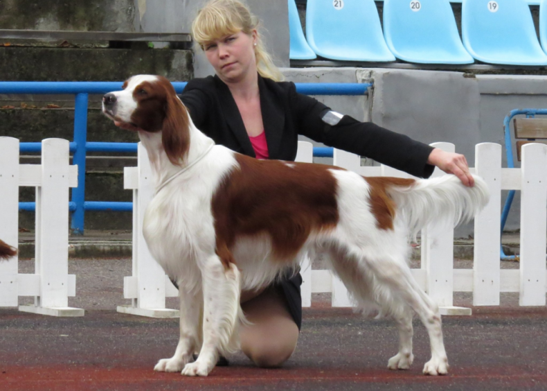 #39. Irish red and white setter
