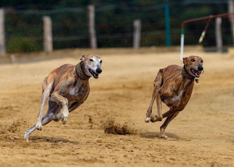 #32. Greyhound