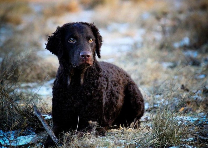 #31. Curly-coated retriever