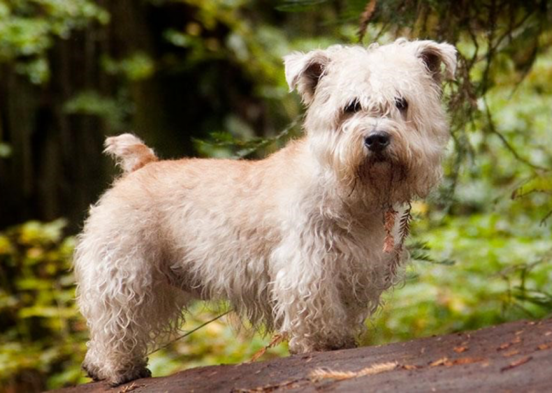 #26. Glen of Imaal terrier