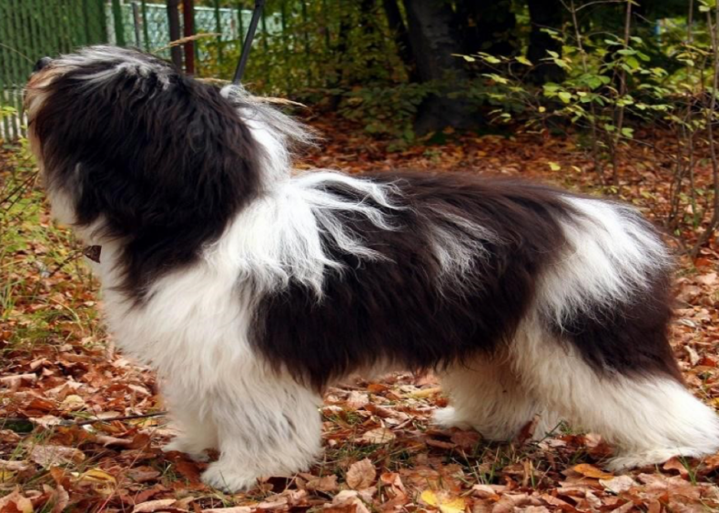 #21. Polish lowland sheepdog