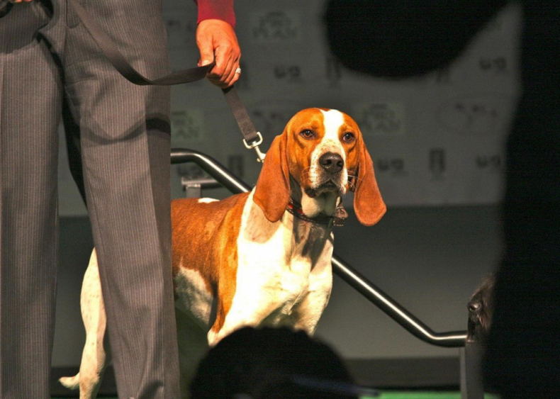 #19. American English coonhound