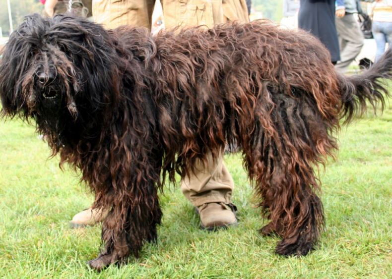 #14. Bergamasco sheepdog