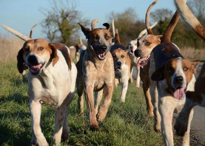 #5. Americanfoxhound