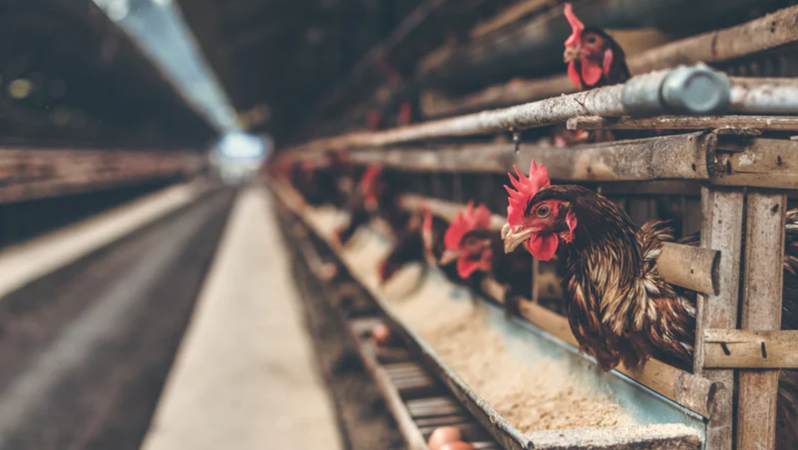 The Sad Horrors of Factory-Farmed Chickens