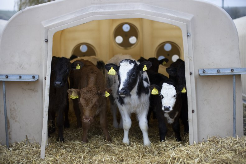 Young heifers at PHR Farm in Ashford