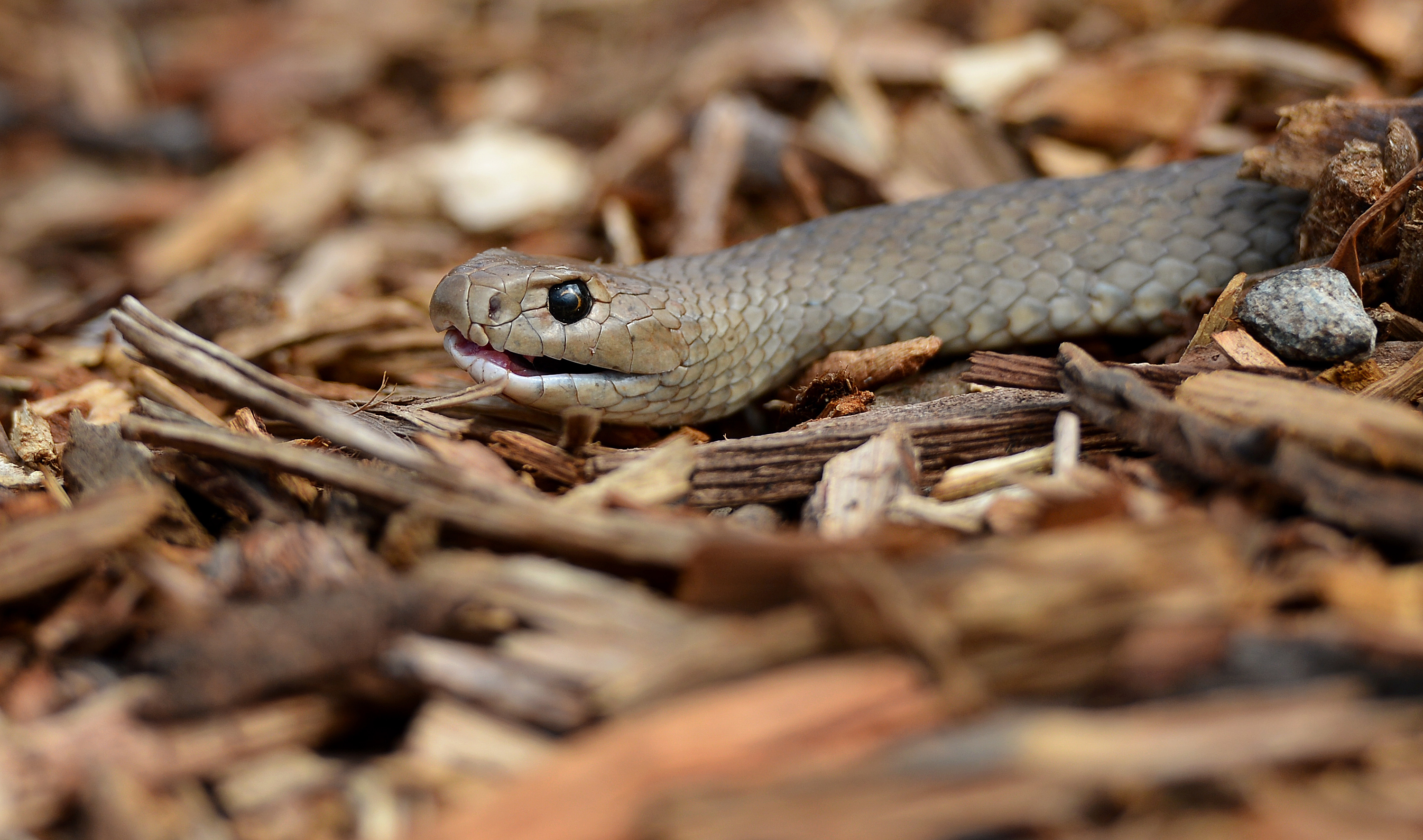 Highly venomous snake found slithering in child's bedroom