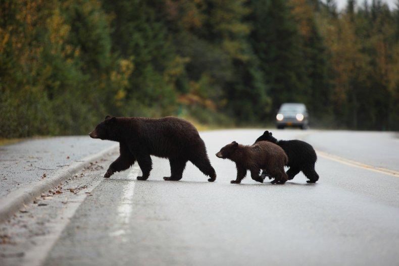 black bear family crossing road