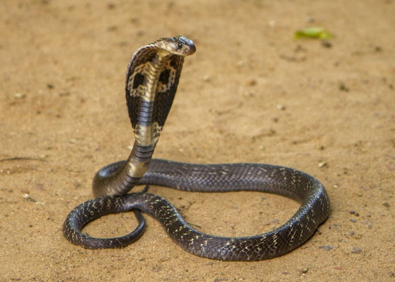 king cobra venomous snake