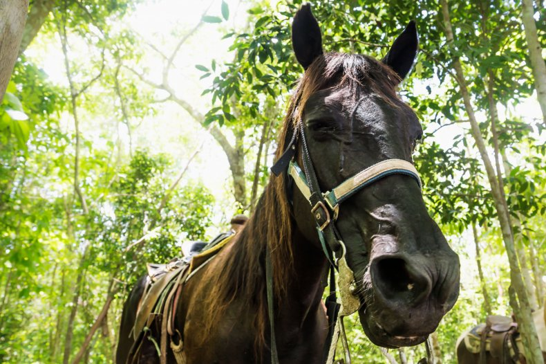 Jungle Horse