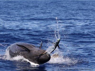 false killer whales hunting mahi mahi fish