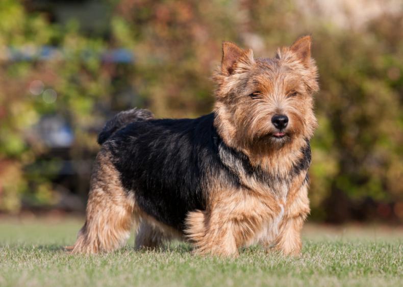#62. Norwich terrier
