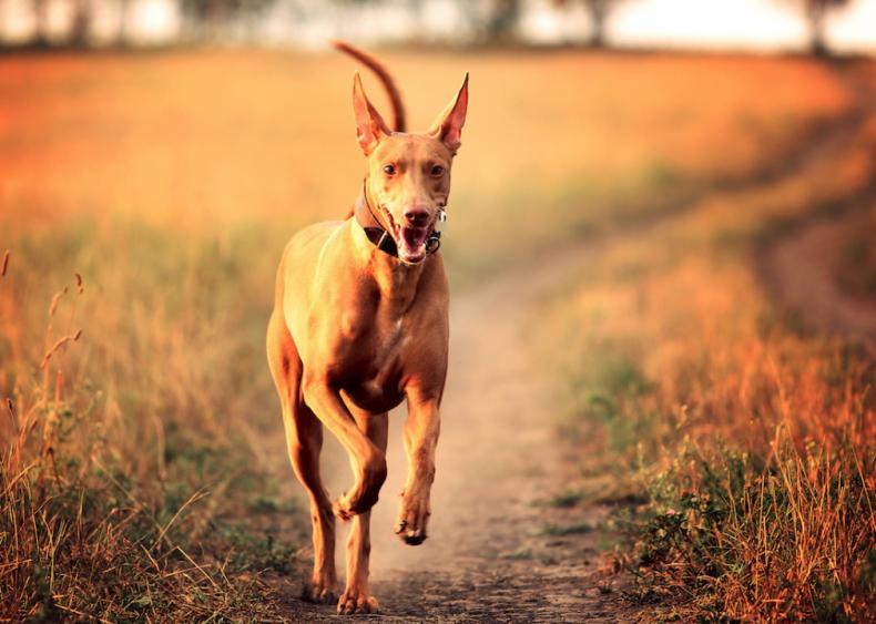 #56. Pharaoh hound (tie)