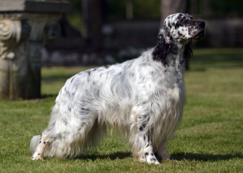 #56. English setter (tie)