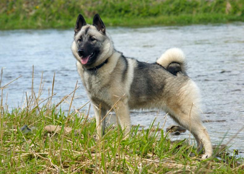 #55. Norwegian elkhound