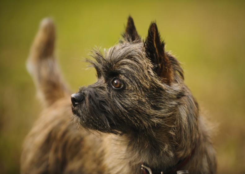 #51. Cairn terrier (tie)