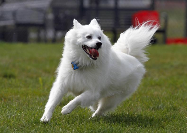 #51. American Eskimo dog (tie)