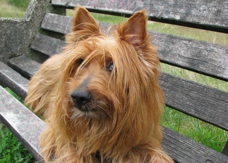 #45. Australian terrier (tie)