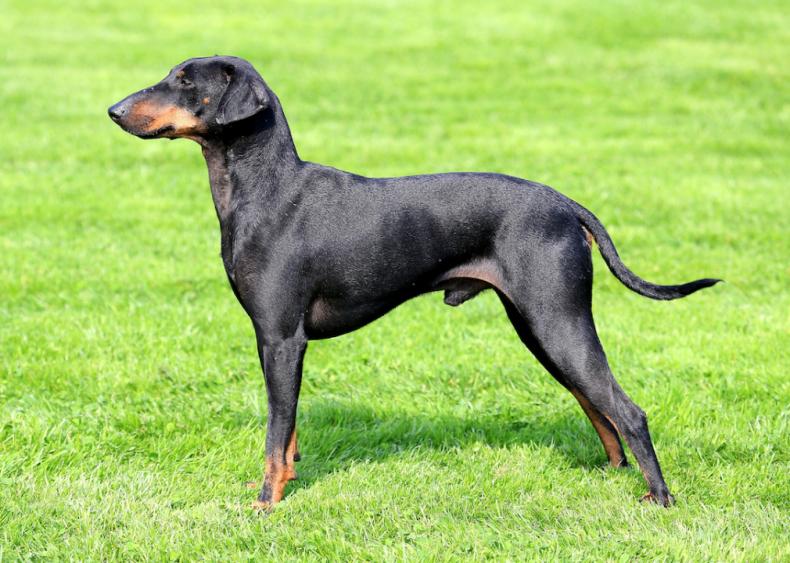 #43. Manchester terrier