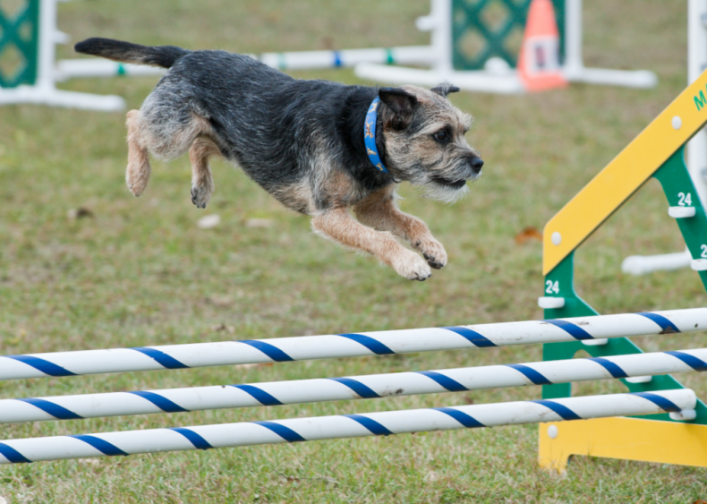 #40. Border terrier (tie)