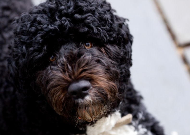 #36. Portuguese water dog (tie)