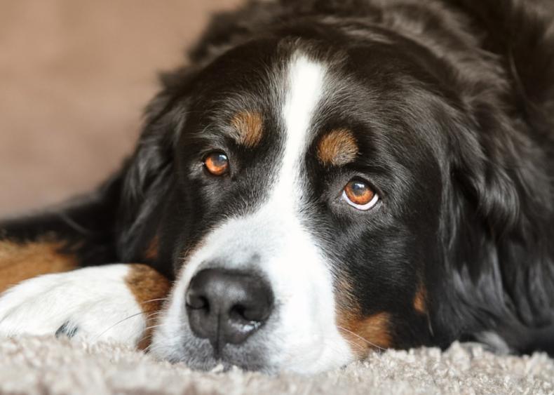 #27. Bernese mountain dog (tie)