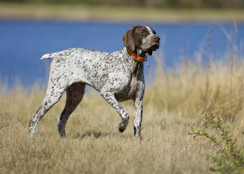 #19. German short-haired pointer