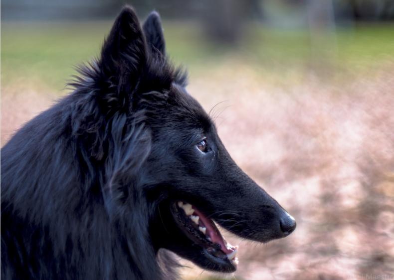 #15. Belgian sheepdog  (tie)