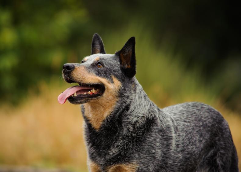#10. Australian cattle dog