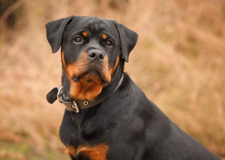 #9. Rottweiler