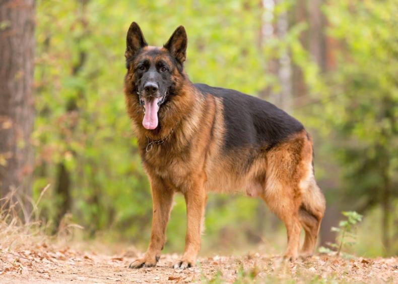 #3. German shepherd