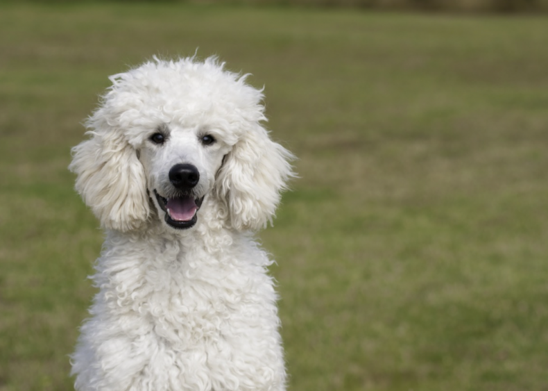 #2. Poodle
