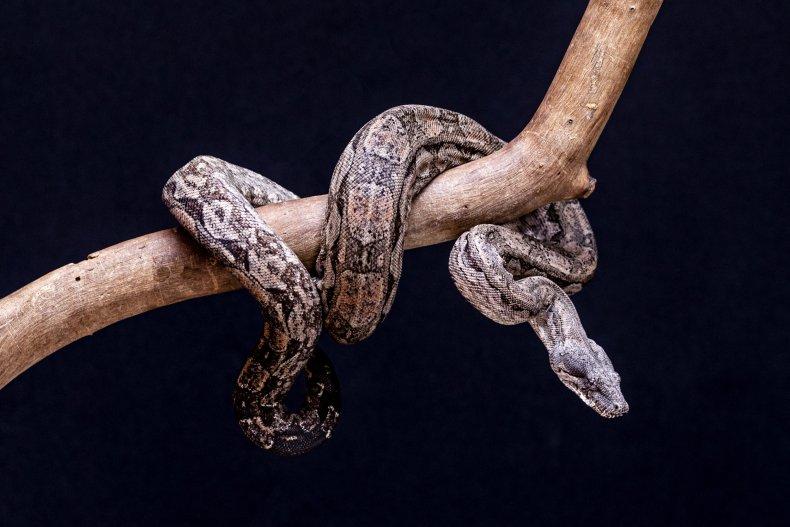 A boa constrictor snake.