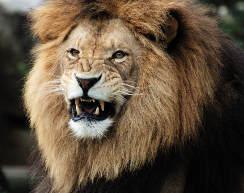A male lion snarls