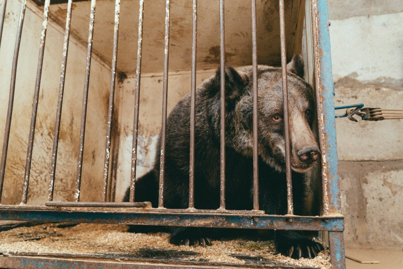 Brown bear Jambolina kept in captivity