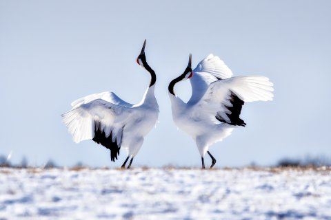 CUL_Map_Travel_Japanese Red Crown Cranes