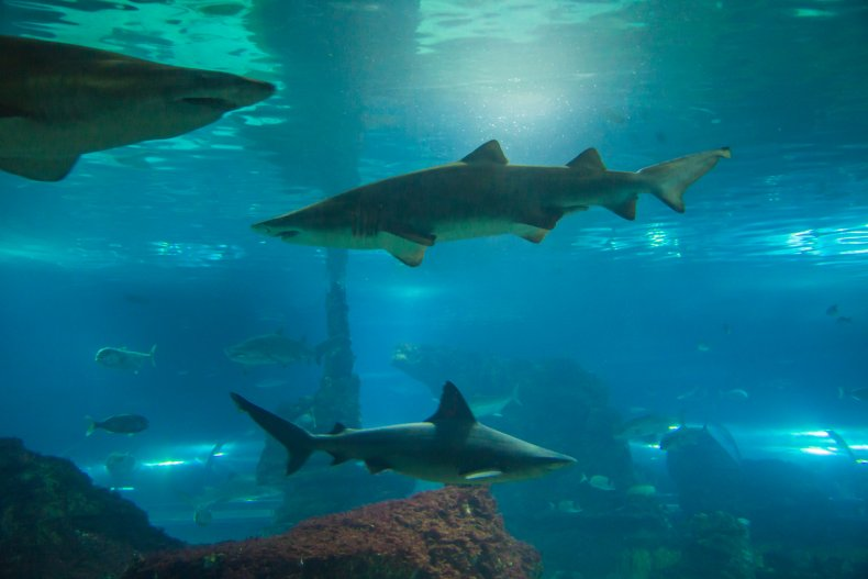 Bull shark barcelona australia